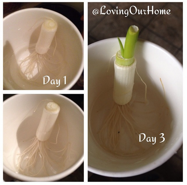 Regrowing Scallions